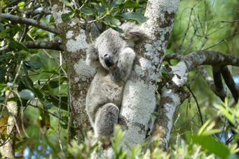 Australia New South Wales Port Macquarie koala hospital